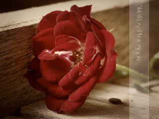 beautifypicsart tiny photography nature roses