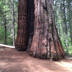 giantsequoia nature tree