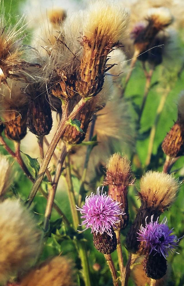 #fluffy #seeds #dodger #photography  #nature