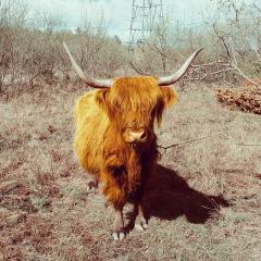 petsandanimals animals photography highlandcow