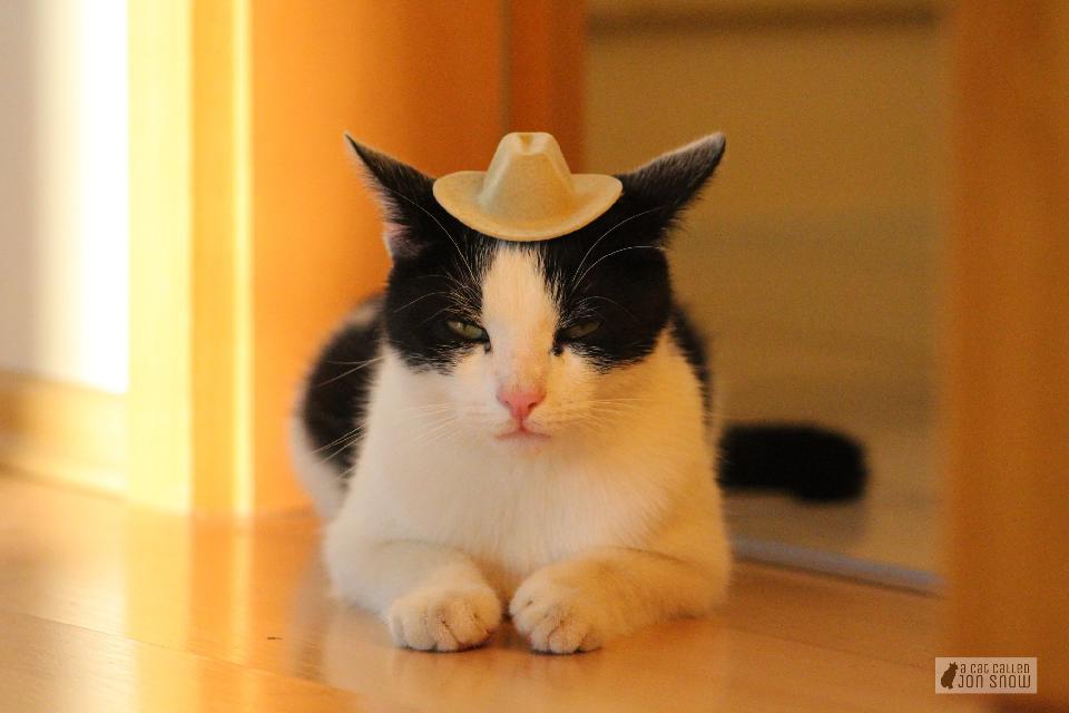 lil cowboy #cat #petsandanimals #photography #cute #pets #animals #cats #catphotography #animalsphotography #petphotography