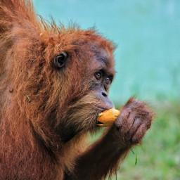 love orangutan animals petsandanimals indonesian